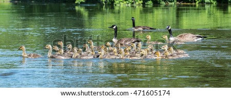 Canada geese parents.   The birds bring their goslings together in flocks often referred to as creches.  It's like a big kindergarten with the adults sharing babysitting chores.