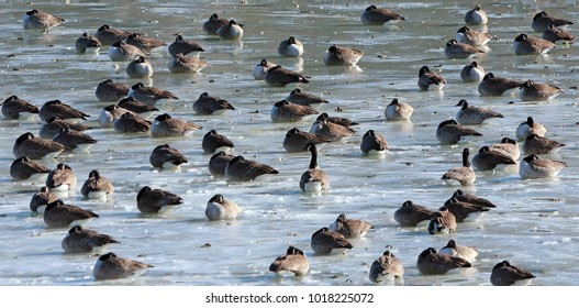 Canada geese sleeping on ice in early morning on Hellen Creek, Calvert County, Maryland, USA