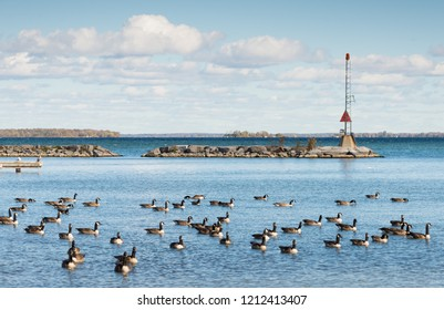 Canada geese at the southern shore of Lake Simcoe in Ontario