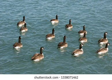 Canada Geese swim lazily in Lake Michigan Illinois