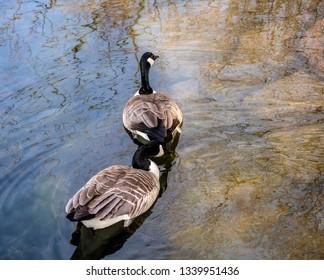 Canada geese swimming in a neghborhood lake Oregon.