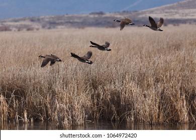 Canada geese taking off. California, Tulelake, Tule Lake National Wildlife Refuge, Winter