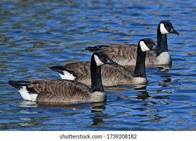 Canada Geese trio floating on a local pond.