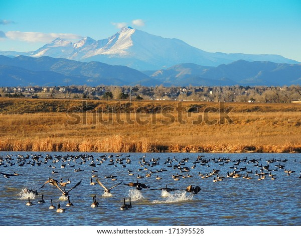 canada geese in the water of stearns lake,  with long's peak in the background, near broomfield, colorado
