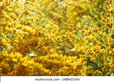Canada goldenrod or Canadian goldenrod (Solidago canadensis) small bright yellow flowers close up