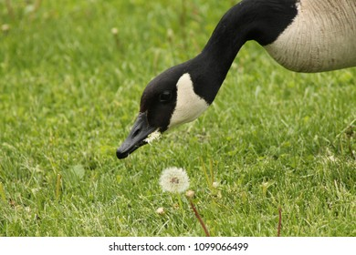 Canada Goose Adult on Grass Eating Dandelion Gone to Seed