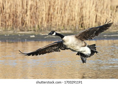 Canada Goose approaching the water for a landing.
