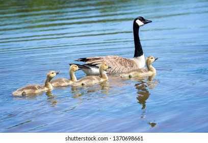 Canada goose (Branta canadensis) and adorable goslings swimming in a lake