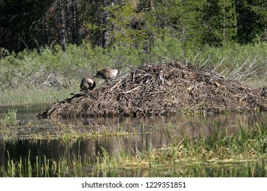 Canada Goose (Branta canadensis) and Beaver Pond/Beaver Lodge, Lassen Volcanic National Park, California, USA