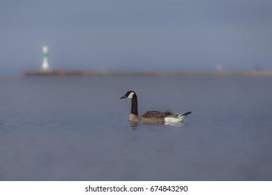 Canada Goose - Branta canadensis - Berneska velka  - Shutterstock ID 674843290