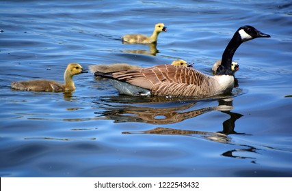 Canada goose (Branta canadensis) family is a large wild goose species with a black head and neck, white patches on the face, and a brown body. Native to arctic and temperate regions of North America