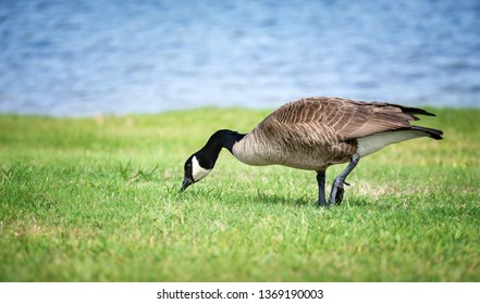 Canada Goose (Branta canadensis) feeding on the grass in the park. Blue lake water background.