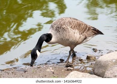 Canada goose - Branta Canadensis feeding, Perthshire, Scotland