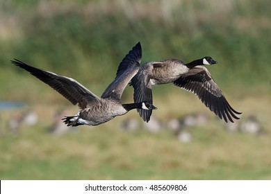 Canada goose (Branta canadensis) in flight with vegetaion in the background