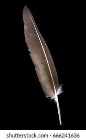 Canada Goose (Branta canadensis) flight feather on black background