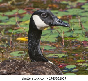Canada Goose, Branta canadensis, floating in calm pond water with close up of head and green trees, lillypads blurred in background