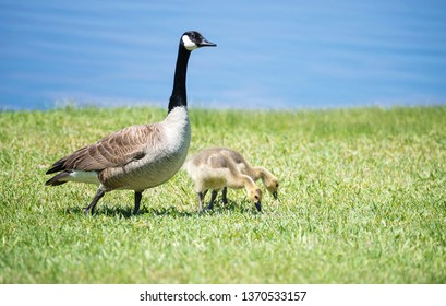 Canada goose (Branta canadensis) and her goslings feeding on the grass by a lake in the spring