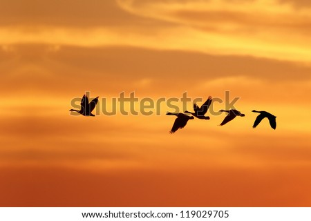Canada Goose (Branta canadensis) Leading Rest of Flock on Migration South Against a Sunset - Grand Bend, Ontario, Canada