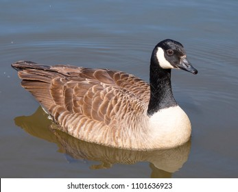 Canada Goose ( Branta canadensis ) on a lake in Cornwall, UK.