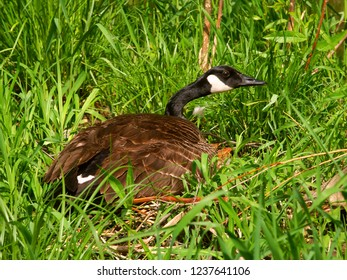 Canada Goose (Branta canadensis) sits on its nest at Pewits Nest State Natural Area of Wisconsin