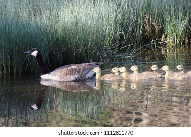 The Canada Goose (Branta canadensis) is a species of bird in the family Anatidae