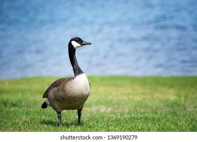 Canada Goose (Branta canadensis) standing on the grass in the park. Blue lake water background.