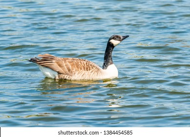 Canada goose (Branta canadensis) swimming on the lake
