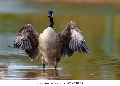 Canada goose, Branta canadensis. Wildlife animal. close-up
