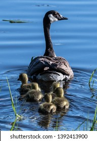 Canada Goose (Branta canadensis) with Young Fledglings