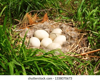 Canada Goose eggs in a nest in southern Wisconsin