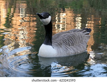 Canada goose in English Canal