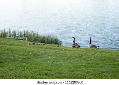 Canada Goose Family in Svarttemosse Lake
