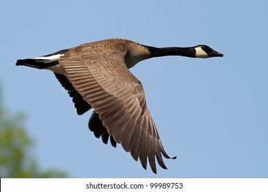 Canada Goose flying over a lake in Missouri.