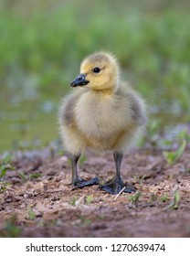 Canada Goose Gosling with a green background at the Gilbert Riparian Preserve, Arizona.