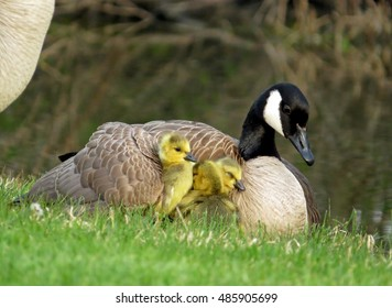 Canada Goose and goslings. Mother Canada Goose snuggles goslings with one gosling under her wing.