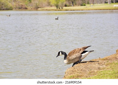 A Canada Goose heads tentatively into the water for a dip on a warm spring day at the park.