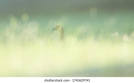 A Canada goose hidden in grasses lit by the soft glowing light of evening