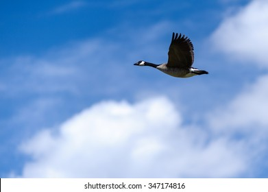 Canada Goose latin name (Branta canadensis) flying  on a beautiful blue sky, ,Alberta, Canada