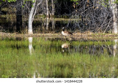 Canada Goose in the marsh at Bosque del Apache with reflections
