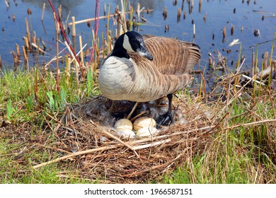 Canada goose nest and eggs is a large wild goose species with a black head and neck, white patches on the face, and a brown body. Native to arctic and temperate regions of North America