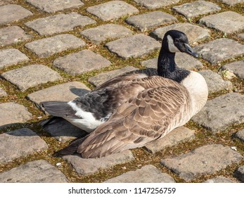 Canada goose on cobblestones