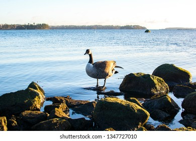 Canada goose on the shore of Westend, Espoo, Finland