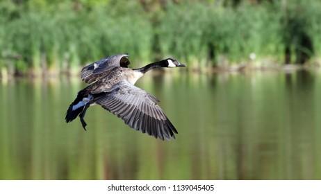 Canada Goose preparing to land.
