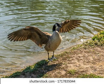 Canada goose spreading wings near pond