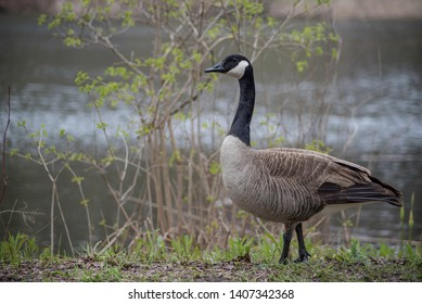 A Canada goose strutting alongside the water