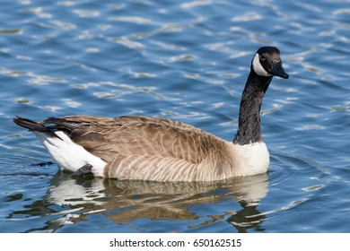 Canada Goose swimming in the calm waters of a lake.