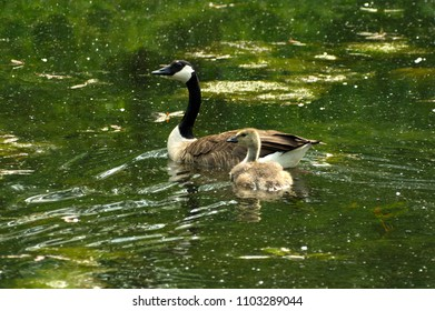 Canada goose swimming in water with baby