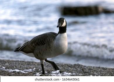 Canada goose walking nonchalantly along the beach