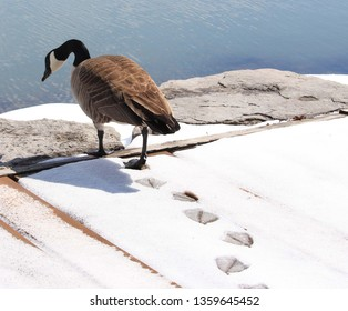 Canada goose walking towards Lake Couchiching by leaving its webbed footprints on the snow, early Spring, Orillia, Canada