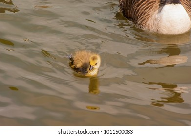 Canada gooses parents and goslings in the water